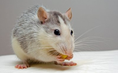 Rat Bait Ingestion – what you need to know